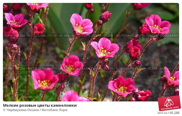 Мелкие розовые цветы камнеломки, фото № 45288, снято 20 мая 2007 г. (c) Черёмухина Оксана / Фотобанк Лори