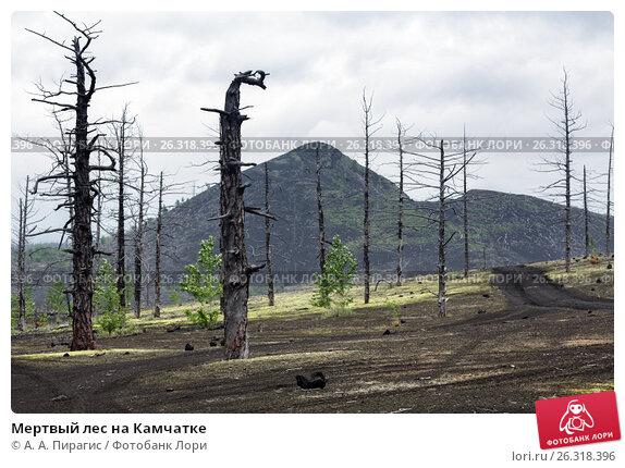 Купить «Мертвый лес на Камчатке», фото № 26318396, снято 25 июня 2014 г. (c) А. А. Пирагис / Фотобанк Лори