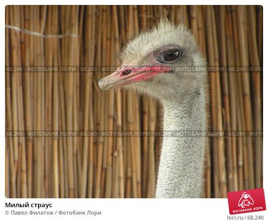 Милый страус, фото № 68240, снято 28 марта 2005 г. (c) Павел Филатов / Фотобанк Лори