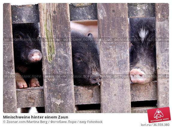 Minischweine hinter einem Zaun. Стоковое фото, фотограф Zoonar.com/Martina Berg / easy Fotostock / Фотобанк Лори