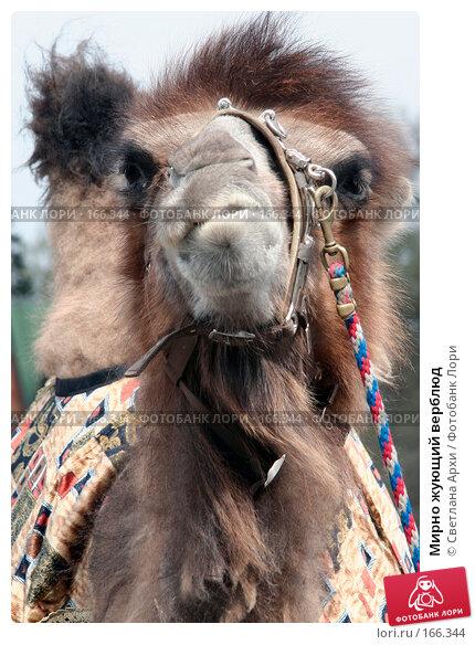 Купить «Мирно жующий верблюд», фото № 166344, снято 29 апреля 2007 г. (c) Светлана Архи / Фотобанк Лори