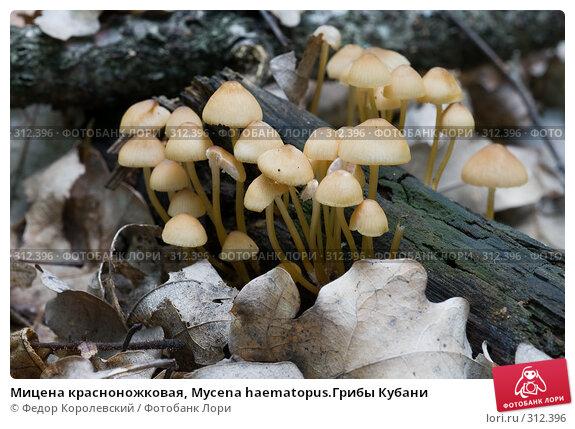 Мицена красноножковая, Mycena haematopus.Грибы Кубани, фото № 312396, снято 4 июня 2008 г. (c) Федор Королевский / Фотобанк Лори
