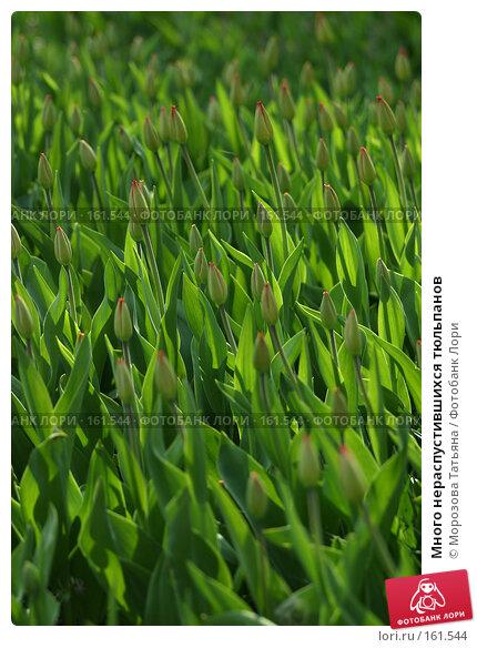Купить «Много нераспустившихся тюльпанов», фото № 161544, снято 7 мая 2006 г. (c) Морозова Татьяна / Фотобанк Лори