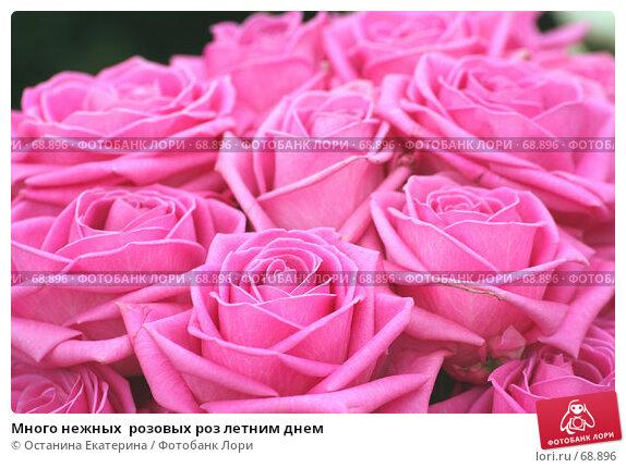 Много нежных  розовых роз летним днем, фото № 68896, снято 19 февраля 2007 г. (c) Останина Екатерина / Фотобанк Лори