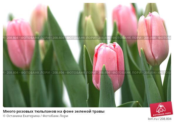 Много розовых тюльпанов на фоне зеленой травы, фото № 208804, снято 14 февраля 2008 г. (c) Останина Екатерина / Фотобанк Лори