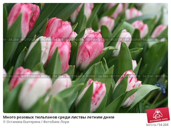 Много розовых тюльпанов среди листвы летним днем, фото № 54204, снято 19 февраля 2007 г. (c) Останина Екатерина / Фотобанк Лори