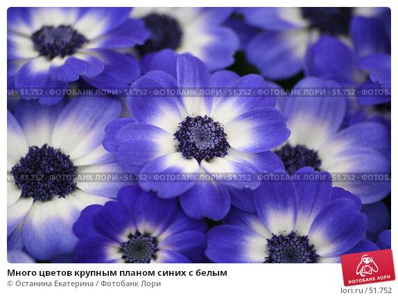 Много цветов крупным планом синих с белым, фото № 51752, снято 19 февраля 2007 г. (c) Останина Екатерина / Фотобанк Лори