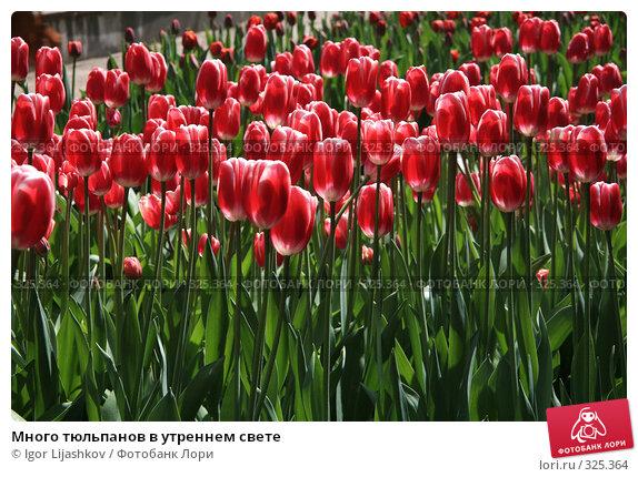 Много тюльпанов в утреннем свете, фото № 325364, снято 9 мая 2008 г. (c) Igor Lijashkov / Фотобанк Лори