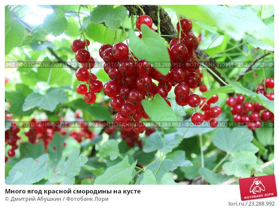Много ягод красной смородины на кусте, эксклюзивное фото № 23288992, снято 20 июля 2016 г. (c) Дмитрий Абушкин / Фотобанк Лори