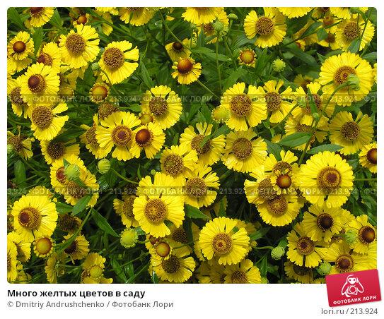 Много желтых цветов в саду, фото № 213924, снято 15 августа 2007 г. (c) Dmitriy Andrushchenko / Фотобанк Лори