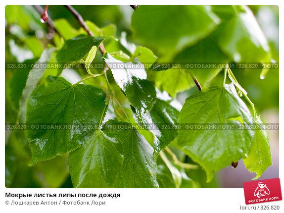Мокрые листья липы после дождя, фото № 326820, снято 28 марта 2017 г. (c) Лошкарев Антон / Фотобанк Лори