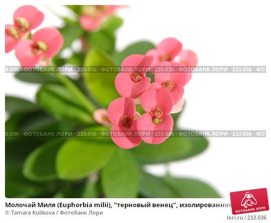 """Молочай Миля (Euphorbia milii), """"терновый венец"""", изолированное изображение, фото № 233036, снято 25 марта 2008 г. (c) Tamara Kulikova / Фотобанк Лори"""