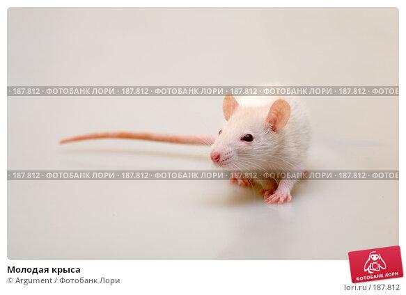 Молодая крыса, фото № 187812, снято 27 января 2008 г. (c) Argument / Фотобанк Лори