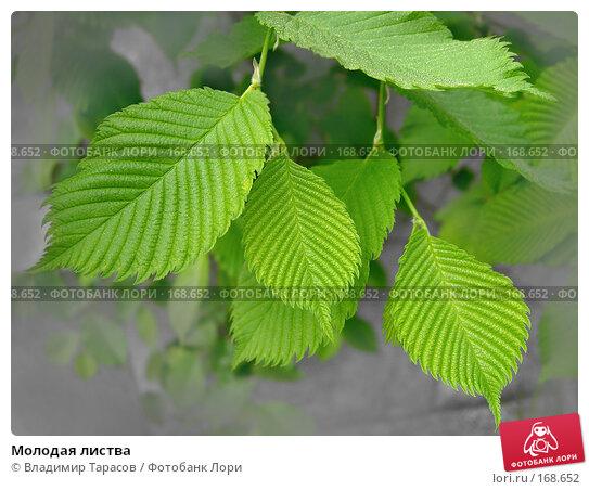 Молодая листва, фото № 168652, снято 21 мая 2007 г. (c) Владимир Тарасов / Фотобанк Лори