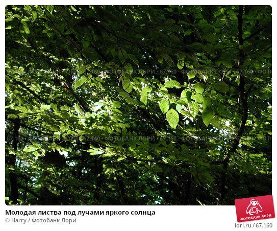 Молодая листва под лучами яркого солнца, фото № 67160, снято 23 июня 2004 г. (c) Harry / Фотобанк Лори