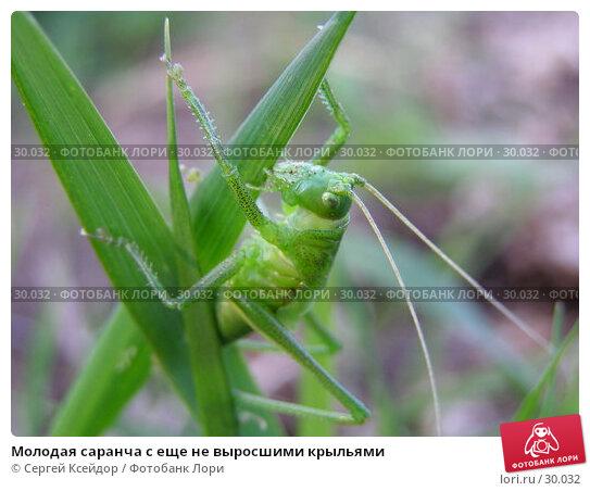 Молодая саранча с еще не выросшими крыльями, фото № 30032, снято 13 июня 2006 г. (c) Сергей Ксейдор / Фотобанк Лори