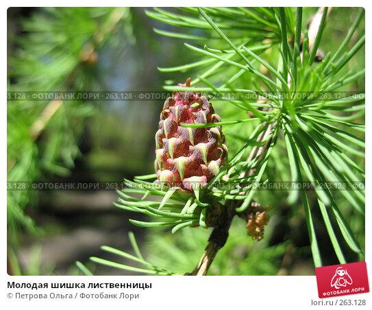 Молодая шишка лиственницы, фото № 263128, снято 25 апреля 2008 г. (c) Петрова Ольга / Фотобанк Лори