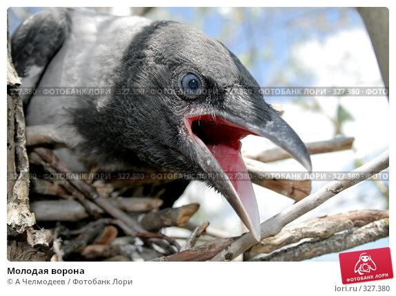 Молодая ворона, фото № 327380, снято 15 мая 2007 г. (c) A Челмодеев / Фотобанк Лори
