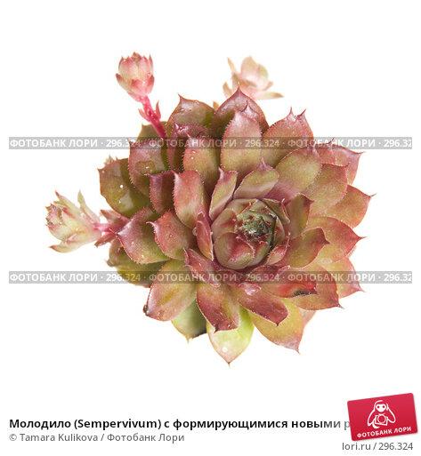 Молодило (Sempervivum) с формирующимися новыми растениями, изолированное изображение, фото № 296324, снято 23 мая 2008 г. (c) Tamara Kulikova / Фотобанк Лори