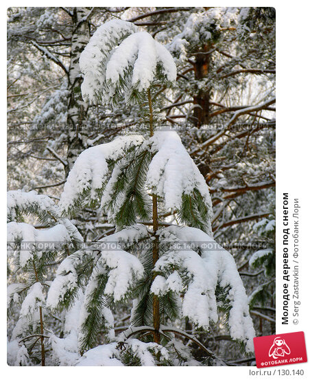 Молодое дерево под снегом, фото № 130140, снято 23 марта 2005 г. (c) Serg Zastavkin / Фотобанк Лори