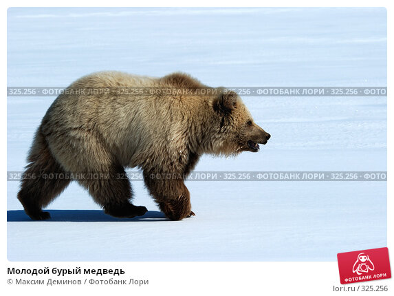 Молодой бурый медведь, фото № 325256, снято 6 июня 2008 г. (c) Максим Деминов / Фотобанк Лори