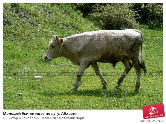 Молодой бычок идет по лугу. Абхазия, фото № 250976, снято 18 августа 2004 г. (c) Виктор Филиппович Погонцев / Фотобанк Лори