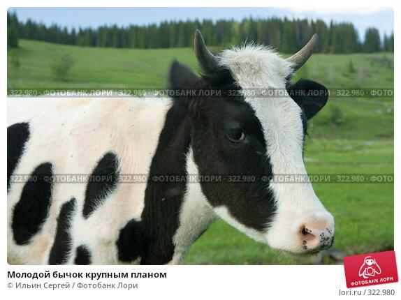 Молодой бычок крупным планом, фото № 322980, снято 14 июня 2008 г. (c) Ильин Сергей / Фотобанк Лори