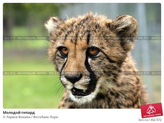 Молодой гепард, фото № 302572, снято 15 мая 2008 г. (c) Лариса Фокина / Фотобанк Лори