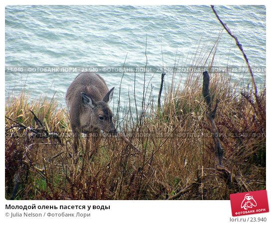 Молодой олень пасется у воды, фото № 23940, снято 28 февраля 2007 г. (c) Julia Nelson / Фотобанк Лори