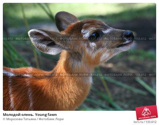 Молодой олень. Young fawn, фото № 133612, снято 23 октября 2007 г. (c) Морозова Татьяна / Фотобанк Лори