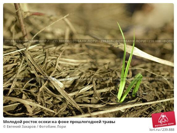 Молодой росток осоки на фоне прошлогодней травы, фото № 239888, снято 28 марта 2008 г. (c) Евгений Захаров / Фотобанк Лори