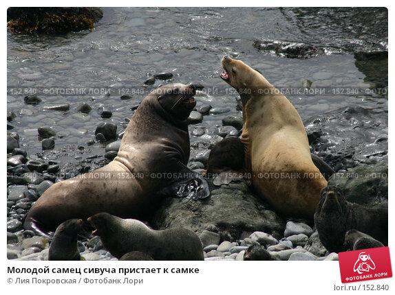 Молодой самец сивуча пристает к самке, фото № 152840, снято 19 июля 2007 г. (c) Лия Покровская / Фотобанк Лори