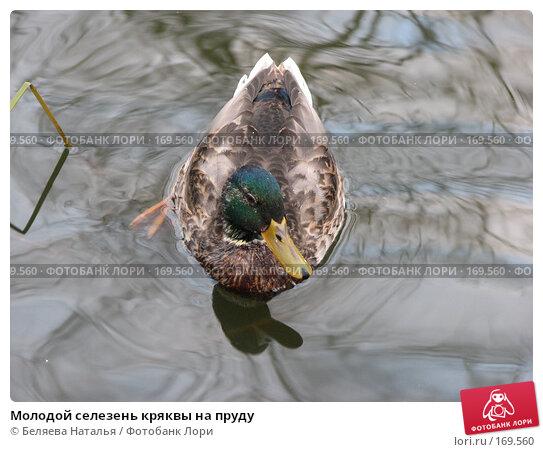 Молодой селезень кряквы на пруду, фото № 169560, снято 18 октября 2007 г. (c) Беляева Наталья / Фотобанк Лори