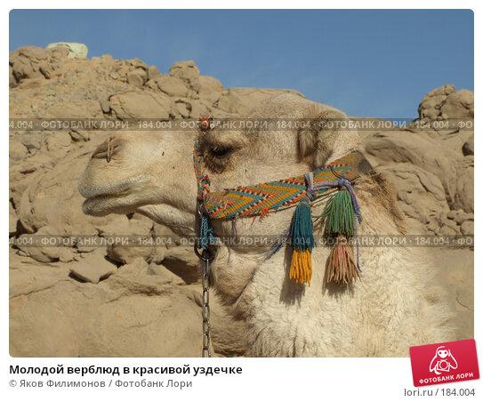 Молодой верблюд в красивой уздечке, фото № 184004, снято 13 января 2008 г. (c) Яков Филимонов / Фотобанк Лори