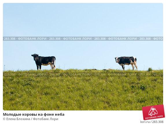 Молодые коровы на фоне неба, фото № 283308, снято 12 мая 2008 г. (c) Елена Блохина / Фотобанк Лори