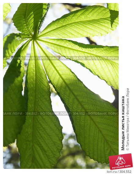 Молодые листья каштана, фото № 304552, снято 29 апреля 2008 г. (c) Татьяна Макотра / Фотобанк Лори
