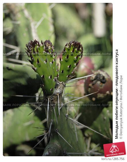 Молодые побеги опунции - плодового кактуса, фото № 285756, снято 1 мая 2008 г. (c) Demyanyuk Kateryna / Фотобанк Лори