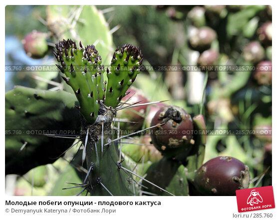 Молодые побеги опунции - плодового кактуса, фото № 285760, снято 1 мая 2008 г. (c) Demyanyuk Kateryna / Фотобанк Лори