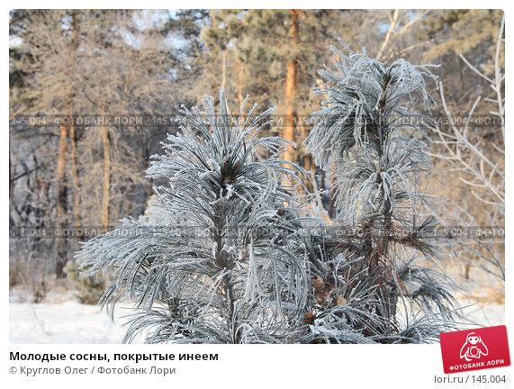 Купить «Молодые сосны, покрытые инеем», фото № 145004, снято 5 декабря 2007 г. (c) Круглов Олег / Фотобанк Лори