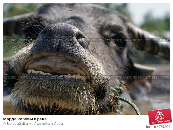 Морда коровы в реке, фото № 273992, снято 10 декабря 2007 г. (c) Валерий Шанин / Фотобанк Лори