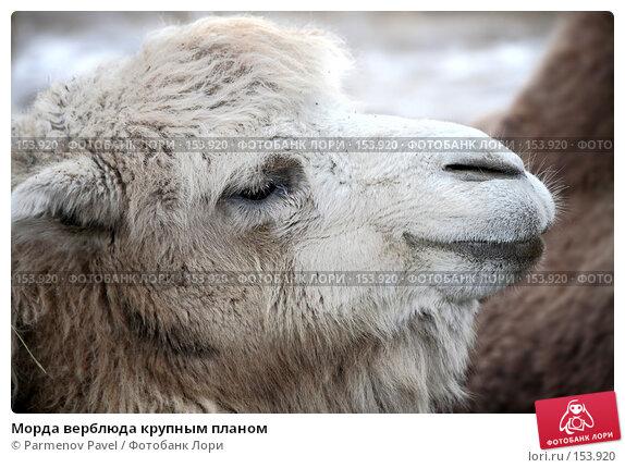 Морда верблюда крупным планом, фото № 153920, снято 11 декабря 2007 г. (c) Parmenov Pavel / Фотобанк Лори