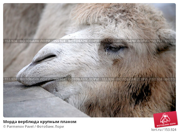 Морда верблюда крупным планом, фото № 153924, снято 11 декабря 2007 г. (c) Parmenov Pavel / Фотобанк Лори