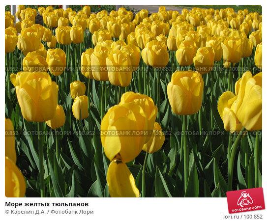 Море желтых тюльпанов, фото № 100852, снято 14 мая 2007 г. (c) Карелин Д.А. / Фотобанк Лори