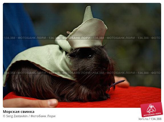 Морская свинка, фото № 134388, снято 8 октября 2006 г. (c) Serg Zastavkin / Фотобанк Лори