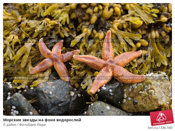 Морские звезды на фоне водорослей, фото № 336160, снято 4 августа 2006 г. (c) pzAxe / Фотобанк Лори