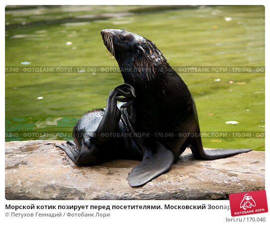 Морской котик позирует перед посетителями. Московский Зоопарк, фото № 170040, снято 24 июня 2007 г. (c) Петухов Геннадий / Фотобанк Лори