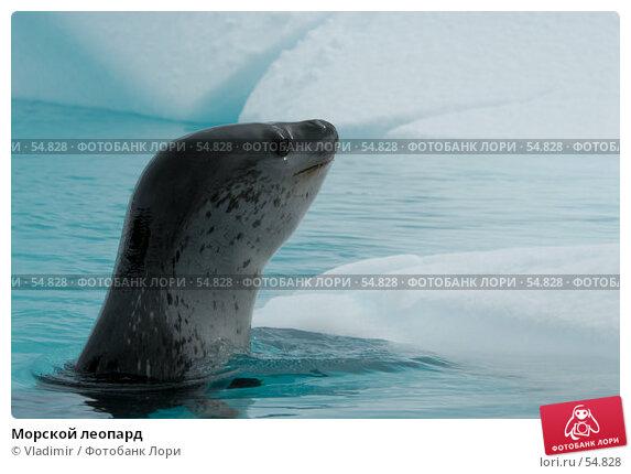 Морской леопард, фото № 54828, снято 6 декабря 2006 г. (c) Vladimir / Фотобанк Лори
