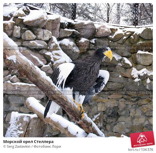 Купить «Морской орел Стеллера», фото № 134576, снято 7 ноября 2004 г. (c) Serg Zastavkin / Фотобанк Лори
