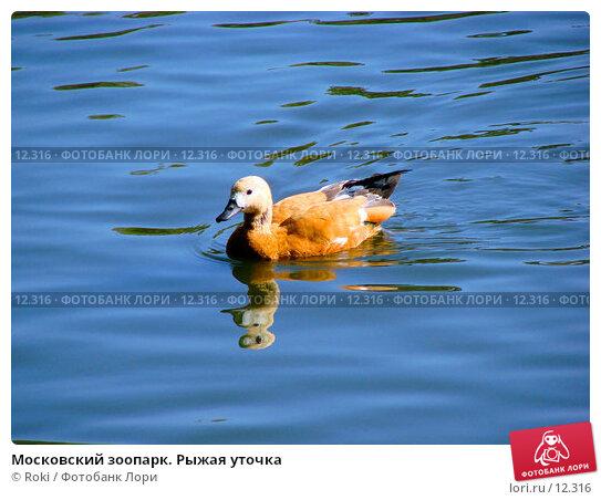 Московский зоопарк. Рыжая уточка, фото № 12316, снято 24 сентября 2006 г. (c) Roki / Фотобанк Лори