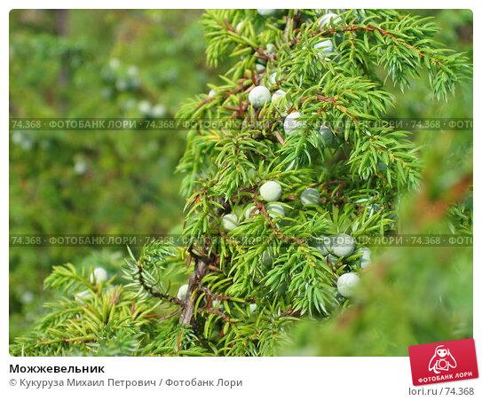 Можжевельник, фото № 74368, снято 31 июля 2007 г. (c) Кукуруза Михаил Петрович / Фотобанк Лори